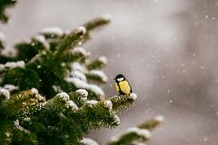 First snow (Inka56) Tags: greattit snow snowing bird wildlife