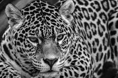 Panthera onca  0J5A3041 (MUMU.09) Tags: canoneos7dmarkii 100400mm france vincennes parczoologiquedeparis animal mammifères carnivore félin jaguar felidae pantherinae panthera pantheraonca
