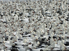 DSCN5960 snowbird !   (snow goose migration) (starc283) Tags: starc283 snow snowgoose snowgeese flickr flicker naturesfinest nature naturewatcher bird birding birds