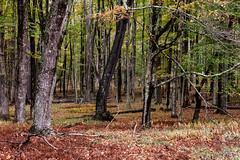 Autumn woods #1 (billd_48) Tags: wv fall canaanvalley blackwaterrivertrail nature landscape woodland trees davis usa