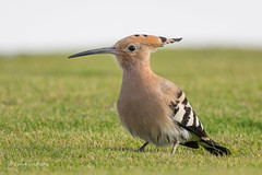 Hoopoe 502_3001.jpg (Mobile Lynn) Tags: hoopoe birds nature bird fauna wildlife yaiza canaryislands spain coth specanimal coth5 ngc sunrays5a npc