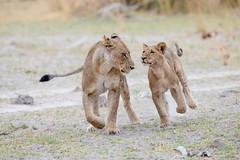 Fun! (Thomas Retterath) Tags: lion wildlife africa cub safari botswana