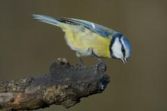 Pimpelmees (jandewit2) Tags: pimpelmees blue bluetit bird zangvogel vogel natuur nederland netherlands natuurmonumenten nikon nature