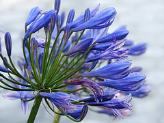 It's written on the wind (AndreaMSmithPortugal) Tags: flowers agapanthus nilelily troggs 1967 il