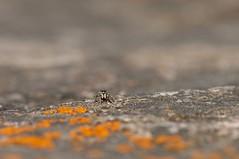 Tiny (Salticidae) (~ Jessy S ~) Tags: nikon nikond5000 d5000 spider spiders jumping araignée arachnide nature life macro micro macrophotography macrophotographie macroworld 105mm 28 nikkor tiny little eyes bokeh map focus saltique salticidae