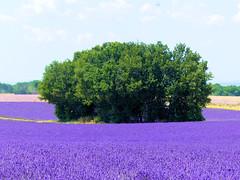 P1810066 (alainazer) Tags: valensole provence france fiori fleurs flowers fields champs ciel cielo sky lavande lavanda lavender colori colors couleurs arbre albero tree