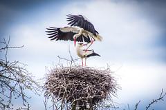 haikarat-4840 (ikkasj) Tags: birds aves ciconiiformes ciconiaciconia ciconiidae fåglar whitestork linnut kattohaikara vitstork haikaralinnut kattohaikarat white nature outside pride breed