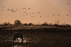 Vol de grues (Marc ALMECIJA) Tags: oiseau oiseaux bird birds aves vogel panasonic g9 100400 sunset lever solei sun vol flight cheval horse ambiance grues