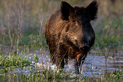 Sanglier (Sus scrofa) [uncropped] (fra298) Tags: susscrofa animal wildlife viesauvage nature faunecharente canoneos7dmkii tamronsp150600mmf563divcusd