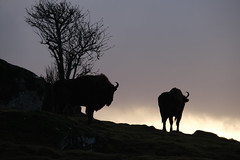 Male and Female Bison at the end of the day (mikeevans12) Tags: nature speyside cairngorms sunset wildlifepark