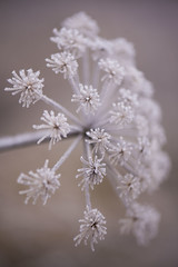 Fleur de givre -** (Titole) Tags: frosted wildflower titole nicolefaton white thechallengefactory storybookwinner