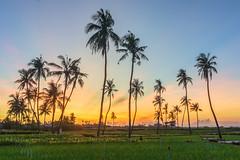 _DSC7288-90.0613.Lý Sơn.Quảng Ngãi (hoanglongphoto) Tags: trees landscape asian scenery asia vietnam vietnamlandscape vietnamscenery lysonsea lysonlandscape sky sunrise sony hdr phongcảnh bầutrời bìnhminh quảngngãi câydừa hàngdừa lýsơn sonyslta77v phongcảnhlýsơn dt1680mmf5545ze coconuttree dawn hoanglongphoto happyplanet asiafavorites