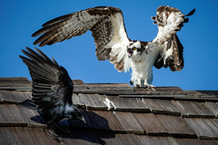 Osprey - Crow - Naples Florida (Bernie Duhamel) Tags: osprey crow naples naplesbeach florida bernie duhamel sonya9 sonyfe100400mm greatphotographers teamsony bird birdsofprey beach pier