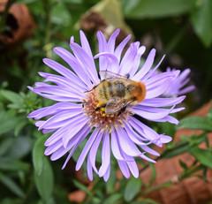 Michaelmas Daisy (MJ Harbey) Tags: flower daisy michaelmasdaisy asteramelius eudicot asteraceae astereae france brittany manoirduhilguy nikon d3300 nikond3300