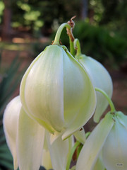 Yucca gloriosa - Lokrum Botanical Garden - Dubrovnik (Ruud de Block) Tags: ruuddeblock lokrumbotanicalgarden croatia dubrovnik yuccagloriosa yucca gloriosa