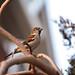 December Sparrow