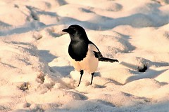 Magpie (montseny visions) Tags: animal animals beauty catalonia catalunya colors color earth field garden light life wildlife montseny ngysa nature naturephotography natural naturalworld naturephoto bird magpie outside outdoor palautordera snow neu catalunyaexperience