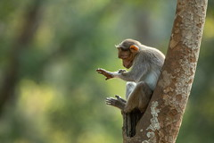 What's the time? (Donna Hampshire) Tags: ngc bonnetmacaque monkey oldworldmonkey macacaradiata endemic wildlifeofindia nature safari india wildlife zati primate