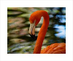 Flamingo (prendergasttony) Tags: avian america bird beak birdwatching birding border closeup colourful d7200 tonyprendergast nikon florida feathers bokeh rspb reflection nature neck