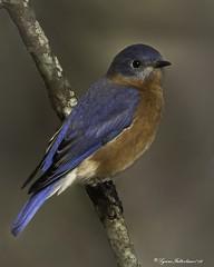 2I1A4560a (lfalterbauer) Tags: bluebird nature wildlife ornithology avian canon 7dmarkii dslr digital songbird outdoor camera lightroom adobe