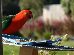 I know I'm a messy eater ....   ** Explored ** (boeckli) Tags: birds parrots skenescreek 018809 rx100m6 kingparrot red coloured green bunt farbig australia farbenfroh colourful colorful colours colors colour bird vogel vögel animal tiere outdoor outside nature natur victoria