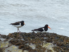 Oystercatchers Near Portmeirion (Marit Buelens) Tags: eu uk britain wales cymru peninsula thellyn portmeirion traethbach estuary dwyryd bird animal sea water oystercatcher seaweed scholekster black white orange beak rock coast