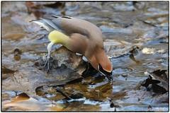 Cedar Waxing drinking (RKop) Tags: barberlake raphaelkopanphotography birds nikon nature d500 ohio 600mmf4evr 14xtciii