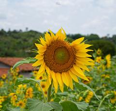 Girasole (fedech_) Tags: sony sonyalpha sonya7 beauty bellezza nature girasole sunflower zeiss zeisscameralenses brasile brazil