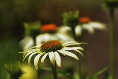 *** (pszcz9) Tags: przyroda nature natura naturaleza kwiat flower zbliżenie closeup bokeh beautifulearth sony a77 lato summer