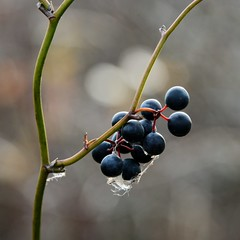 homies (courtney065) Tags: nikond800 nature landscapes wetland winter flora foliage bokeh blurred branchlets berries fruit webs abstract softlight blueberries shadows textures
