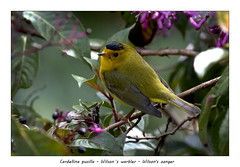 Wilson's warbler (Jan H. Boer, Nature photographer) Tags: cardellinapusilla wilson´swarbler wilsonszanger birds warblers nature wildlife costarica sangerardodedota nikon d500 afsnikkor200500f56e jansphotostream2019