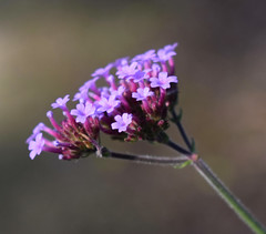 Verbena (MJ Harbey) Tags: flower verbena vervain eudicot asterid lamiales verbenaceae verbenaofficinalis france brittany parcbotaniquedecornouaille nikon d3300 nikond3300