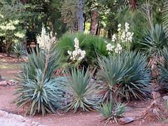Yucca gloriosa - Lokrum Botanical Garden - Dubrovnik (Ruud de Block) Tags: ruuddeblock lokrumbotanicalgarden croatia dubrovnik asparagaceae yuccagloriosa yucca gloriosa