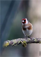 Chardonneret élégant (boblecram) Tags: carduelis chardonneret bird oiseau nature ornithologie ornithology goldfinch fringillidae