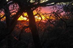 Sunset from camp - HSS! (RPahre) Tags: juniper pine pinyon mexicanpinyonpine sunset hss southrim backpacking bigbendnationalpark bigbend texas camp pinyonjuniperforest