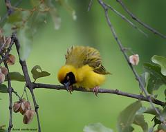 Southern Masked-Weaver (leendert3) Tags: leonmolenaar southafrica phalaborwa wildanimal nature naturalhabitat bird southernmaskedweaver naturethroughthelens