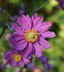 Japanese Anemone (MJ Harbey) Tags: flower japaneseanemone anemonehupehensis thimbleweed chineseanemone eudicot ranunculaceae anemone parcbotaniquedecornouaille brittany france nikon d3300 nikond3300