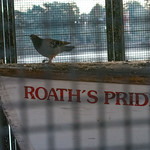 Pigeon in the boat house