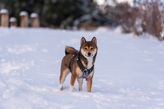 Shiba-inu (Nicomonaco73) Tags: savoie revard mont alpes montagne mountain snow winter shiba inu dos dog puppy puppies nikon d750