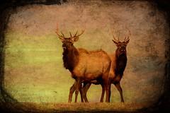 Brotherhood of the Elk (TicKavich) Tags: elk wildlife texture antlers outdoors conservation deer hunting animal nature
