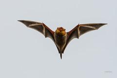 Eastern Red Bat in flight (jt893x) Tags: 150600mm bat d500 easternredbat flying jt893x lasiurusborealis microbat nikon nikond500 sigma sigma150600mmf563dgoshsms