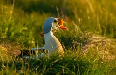 King eider / Æðarkóngur (Somateria spectabilis) (thorrisig) Tags: 08062019 dýr fuglar kingeider somateriaspectabilis vestfirðir vigur endur æðarkóngur önd animals sigurgeirsson sigurgeirssonþorfinnur westfjords dorres ducks duck iceland ísland island icelandicbirds íslenskirfuglar thorrisig thorfinnursigurgeirsson thorri thorfinnur þorrisig þorfinnur þorri þorfinnursigurgeirsson vagrant flækingur flækingsfugl