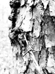 Being consumed (As_My_Wimsey) Tags: barbedwire blackandwhite pinetree