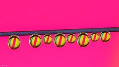 REDUX 2019 - In A Row - 7912 (✵ΨᗩSᗰIᘉᗴ HᗴᘉS✵90 000 000 THXS) Tags: macromondays macro mm hmm redux2019 color inarow water drop drops pearl goutte gota needle row colour vivid belgium europa aaa namuroise look photo friends be yasminehens interest eu fr party greatphotographers lanamuroise flickering challenge panasonic panasonicgx9 favouritetheme favouritethemeoftheyear