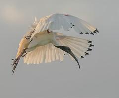 Ibis (m&em2009) Tags: ibis bird nature feather sky white nikon d810 lems tamron 150600mm fauna