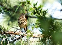 0P7A3192  Brown Thrasher, Canada (ashahmtl) Tags: brownthrasher bird songbird thrasher toxostamarufum presquileprovincialpark brighton ontario canada