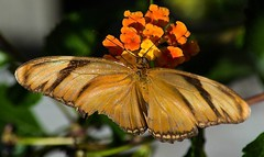 Dryas iulia (2) (ACEZandEIGHTZ) Tags: orangejulia nikond3200 dryasiulia flyinginsect closeup nature wings winged butterfly macro bokeh flowers lantana nectar