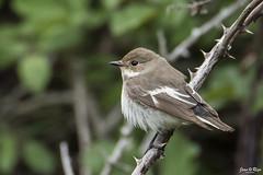 Ficedula hypoleuca (Joan Rigo Arnavat) Tags: birds ocells oiseaux wildlife nature natura flycatcher mastegatatxes