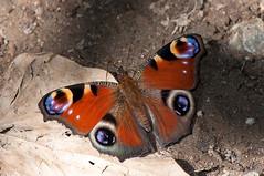 Aglais io (Linnaeus 1758) (ajmtster) Tags: macrofotografía macro insecto insectos invertebrados mariposas mariposa lepidopteros nymphalidae ninfalidos aglaisio aglais io inachisio inachis pavoreal amt butterfly butterflies papillon farfalle anverso