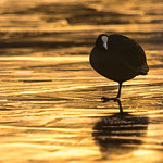 Coot on a frozen lake